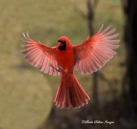 Image of cardinal in flight by Sheila Sellers